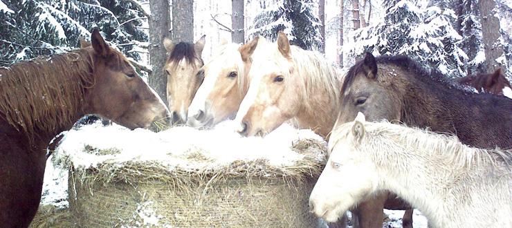 Hobuste õhtusöök